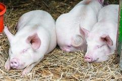 Ύπνος τριών χοίρων χοίρων που στηρίζεται στο άχυρο σε έναν αγροτικό στάβλο Στοκ εικόνα με δικαίωμα ελεύθερης χρήσης