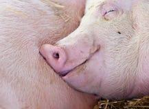 Ύπνος χοίρων στη σιταποθήκη Στοκ Εικόνες