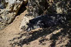 Ύπνος χοίρων στη σκιά Στοκ Φωτογραφίες