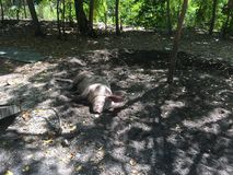 Ύπνος χοίρων στο νησί Balicasag Στοκ Εικόνα