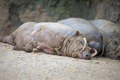 Ύπνος χοίρων Babirusa Στοκ εικόνες με δικαίωμα ελεύθερης χρήσης