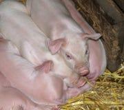 ύπνος χοιριδίων Στοκ φωτογραφία με δικαίωμα ελεύθερης χρήσης