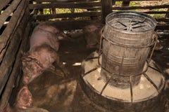 Ύπνος χοιρινού κρέατος μετά από να φάει Στοκ φωτογραφίες με δικαίωμα ελεύθερης χρήσης