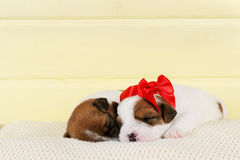 Ύπνος δύο μικρός χαριτωμένος κουταβιών στοκ εικόνες