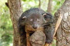 Ύπνος Bearcat σε ένα δέντρο Στοκ φωτογραφία με δικαίωμα ελεύθερης χρήσης