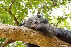 Ύπνος Bearcat σε ένα δέντρο Στοκ Εικόνα