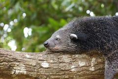 Ύπνος Bearcat σε ένα δέντρο Στοκ εικόνες με δικαίωμα ελεύθερης χρήσης