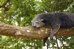 Ύπνος Bearcat σε ένα δέντρο Στοκ Εικόνες