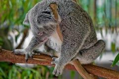 ύπνος koala στοκ εικόνα με δικαίωμα ελεύθερης χρήσης