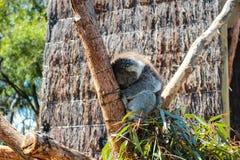 Ύπνος Koala στοκ φωτογραφίες