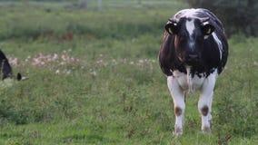 Ύποπτη αγελάδα απόθεμα βίντεο