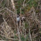 Ύφασμα καλάμων (schoeniclus Emberiza) Bulrush στο μίσχο Στοκ εικόνες με δικαίωμα ελεύθερης χρήσης