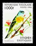 Ύφασμα λάού λάζουλι (amoena Passerina), εξωτικά πουλιά serie, circa 199 Στοκ εικόνες με δικαίωμα ελεύθερης χρήσης