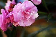 Ύφασμα σχεδίων αγορών λουλουδιών φυσικού υποβάθρου oleander Στοκ εικόνες με δικαίωμα ελεύθερης χρήσης