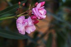 Ύφασμα σχεδίων αγορών λουλουδιών φυσικού υποβάθρου oleander Στοκ Φωτογραφίες