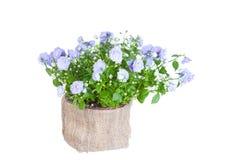 Ύφασμα Campanula flowerpot Στοκ φωτογραφία με δικαίωμα ελεύθερης χρήσης