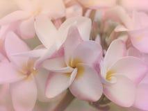 Ύφος θαμπάδων λουλουδιών Plumeria για το υπόβαθρο Στοκ φωτογραφία με δικαίωμα ελεύθερης χρήσης
