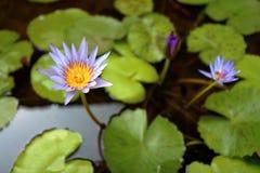 ύδωρ ανασκόπησης lilly Στοκ Φωτογραφία