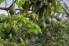 Ώριμα αβοκάντο στο δέντρο στοκ εικόνες