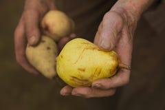 Ώριμα αχλάδια σε ένα παλαιό χέρι αγροτών Στοκ φωτογραφίες με δικαίωμα ελεύθερης χρήσης