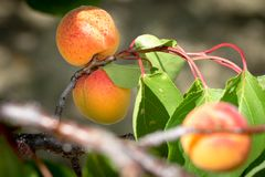 Ώριμα βερίκοκα που αυξάνονται στο homegrown οπωρώνα φρούτων Βερίκοκα έτοιμα Στοκ φωτογραφία με δικαίωμα ελεύθερης χρήσης