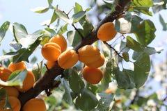 Ώριμα γλυκά φρούτα βερίκοκων που αυξάνονται σε έναν κλάδο δέντρων βερικοκιών στον οπωρώνα Στοκ Εικόνα