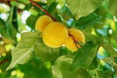 Ώριμα γλυκά φρούτα βερίκοκων που αυξάνονται σε έναν κλάδο δέντρων βερικοκιών μέσα ή Στοκ Εικόνα
