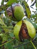 Ώριμα ελληνικά καρύδια στο δέντρο στοκ εικόνες με δικαίωμα ελεύθερης χρήσης