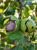 Ώριμα ελληνικά καρύδια στο δέντρο στοκ εικόνα με δικαίωμα ελεύθερης χρήσης