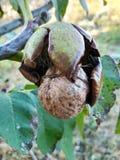 Ώριμα ελληνικά καρύδια στο δέντρο στοκ φωτογραφία με δικαίωμα ελεύθερης χρήσης