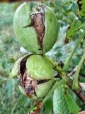 Ώριμα ελληνικά καρύδια στο δέντρο στοκ φωτογραφίες με δικαίωμα ελεύθερης χρήσης