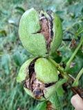 Ώριμα ελληνικά καρύδια στο δέντρο στοκ φωτογραφίες