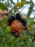 Ώριμα ελληνικά καρύδια στο δέντρο στοκ εικόνες