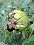 Ώριμα ελληνικά καρύδια στο δέντρο στοκ εικόνα