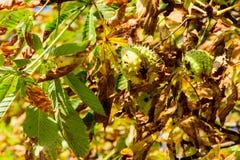 Ώριμα κάστανα στο δέντρο κάστανων Στοκ Φωτογραφία
