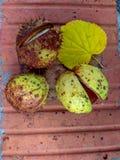 Ώριμα κάστανα το φθινόπωρο, υπαίθριος βλαστός, τοπ άποψη Στοκ Εικόνες
