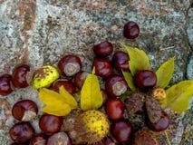 Ώριμα κάστανα το φθινόπωρο, υπαίθριος βλαστός, τοπ άποψη Στοκ φωτογραφίες με δικαίωμα ελεύθερης χρήσης