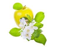 Ώριμα κίτρινα λουλούδια μήλων και Apple-δέντρων Στοκ εικόνες με δικαίωμα ελεύθερης χρήσης