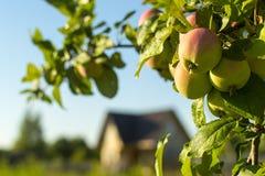 Ώριμα κίτρινος-κόκκινα μήλα σε έναν κλάδο στοκ φωτογραφίες