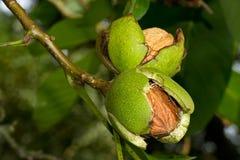 Ώριμα καρύδια ενός δέντρου ξύλων καρυδιάς στοκ εικόνα