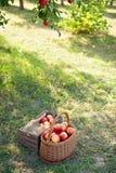 Ώριμα κόκκινα μήλα συγκομιδών της Apple στο καλάθι στην πράσινη χλόη Στοκ Εικόνες