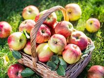 Ώριμα κόκκινα μήλα συγκομιδών της Apple στο καλάθι στην πράσινη χλόη Στοκ Φωτογραφία