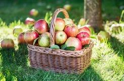 Ώριμα κόκκινα μήλα συγκομιδών της Apple στο καλάθι στην πράσινη χλόη Στοκ φωτογραφία με δικαίωμα ελεύθερης χρήσης