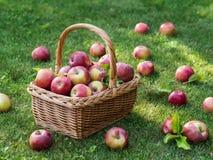 Ώριμα κόκκινα μήλα συγκομιδών της Apple στο καλάθι στην πράσινη χλόη Στοκ φωτογραφίες με δικαίωμα ελεύθερης χρήσης