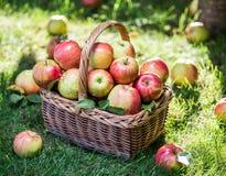 Ώριμα κόκκινα μήλα συγκομιδών της Apple στο καλάθι στην πράσινη χλόη Στοκ Εικόνα