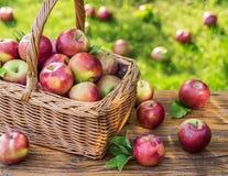 Ώριμα κόκκινα μήλα συγκομιδών της Apple στο καλάθι στην πράσινη χλόη Στοκ εικόνα με δικαίωμα ελεύθερης χρήσης