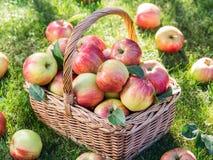 Ώριμα κόκκινα μήλα συγκομιδών της Apple στο καλάθι Στοκ φωτογραφίες με δικαίωμα ελεύθερης χρήσης