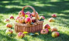Ώριμα κόκκινα μήλα συγκομιδών της Apple στο καλάθι Στοκ Φωτογραφίες