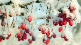 Ώριμα κόκκινα barberry μούρα που κονιοποιούνται με ένα χιόνι Στοκ φωτογραφίες με δικαίωμα ελεύθερης χρήσης