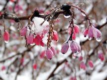 Ώριμα κόκκινα barberry μούρα που κονιοποιούνται με ένα χιόνι Στοκ εικόνα με δικαίωμα ελεύθερης χρήσης